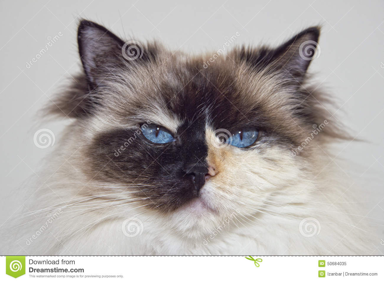 blue eyes white and black ragdoll cat stock image image of mammal
