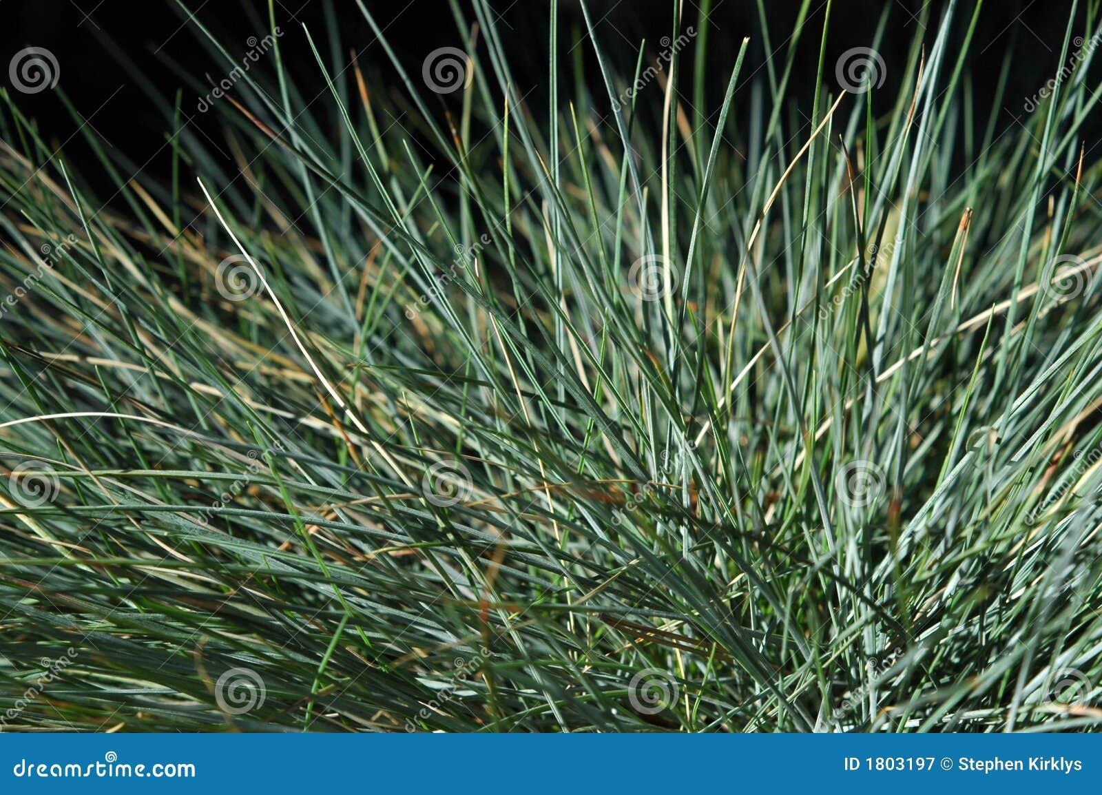 Blue Fescue Grass Macro Royalty Free Stock Photography