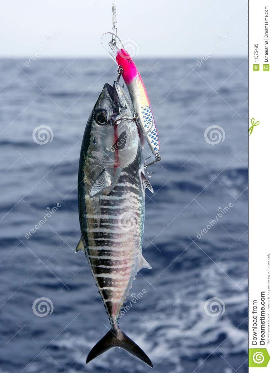 Blue fin bluefin tuna catch and release stock image for Tuna fishing videos