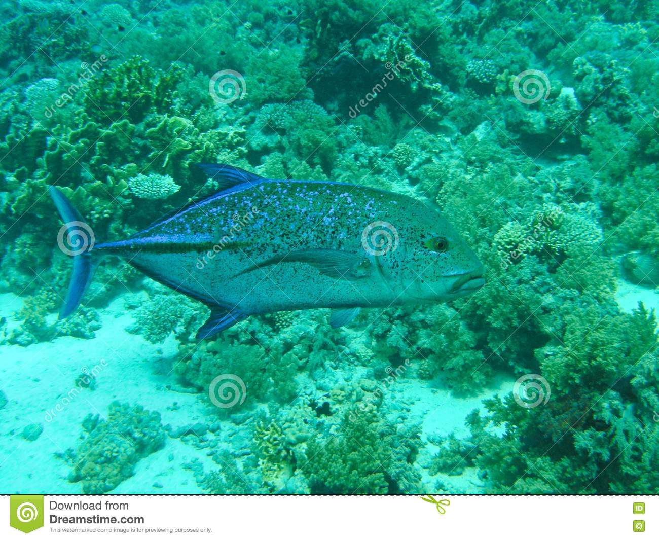 Blue fin jack fish stock photography image 6480332 for Blue fin fish