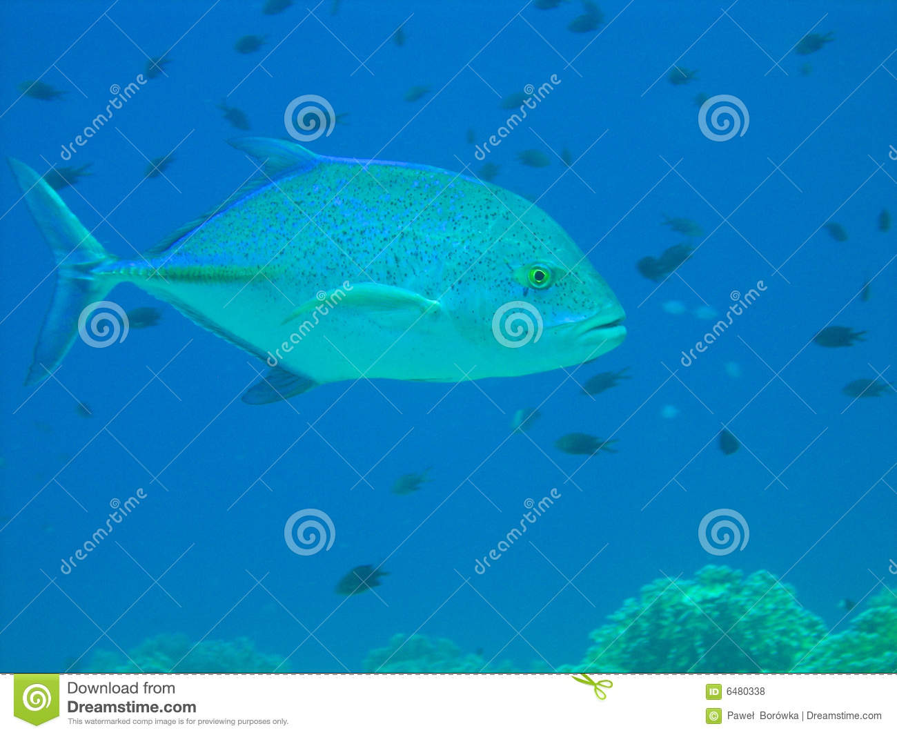 Blue fin jack fish stock photo image of diving egyptian for Blue fin fish