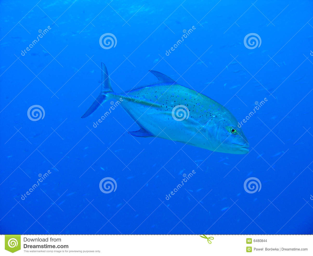Bluefin trevally related keywords bluefin trevally long for Blue fin fish