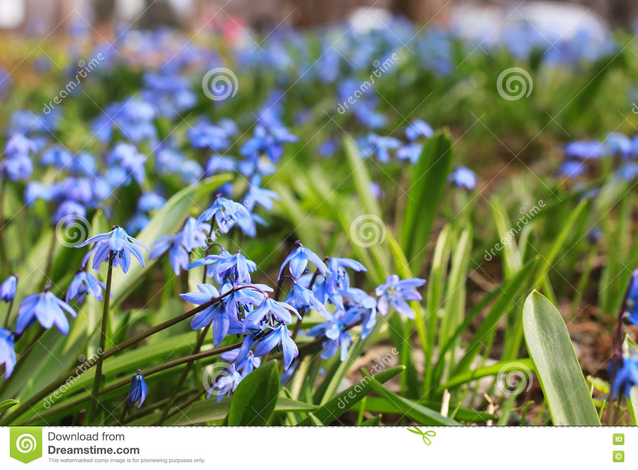 Blue First Flower In Spring Stock Image Image Of Detail Drops