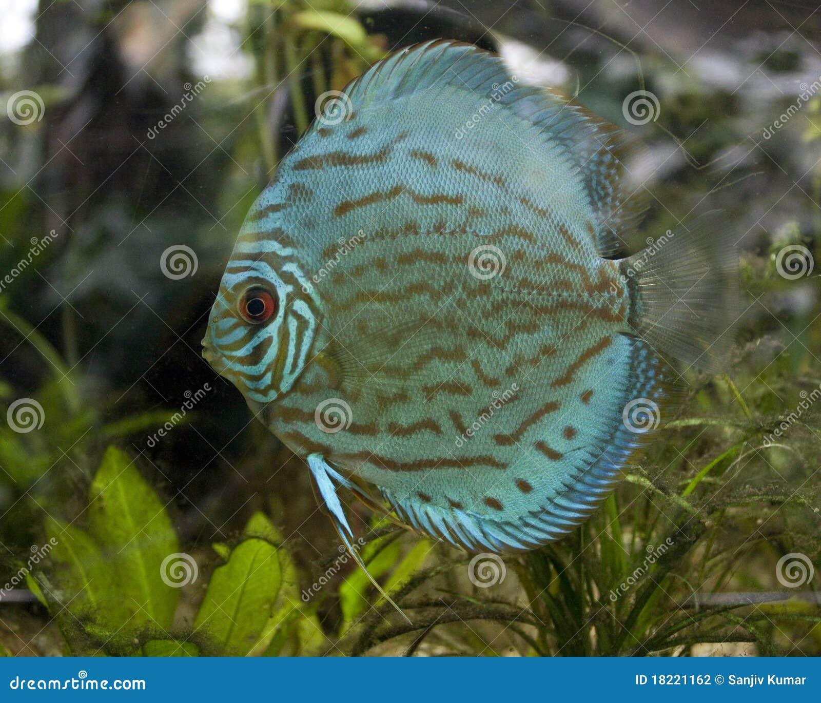 Blue Fish In Aquarium Stock Photography Image 18221162
