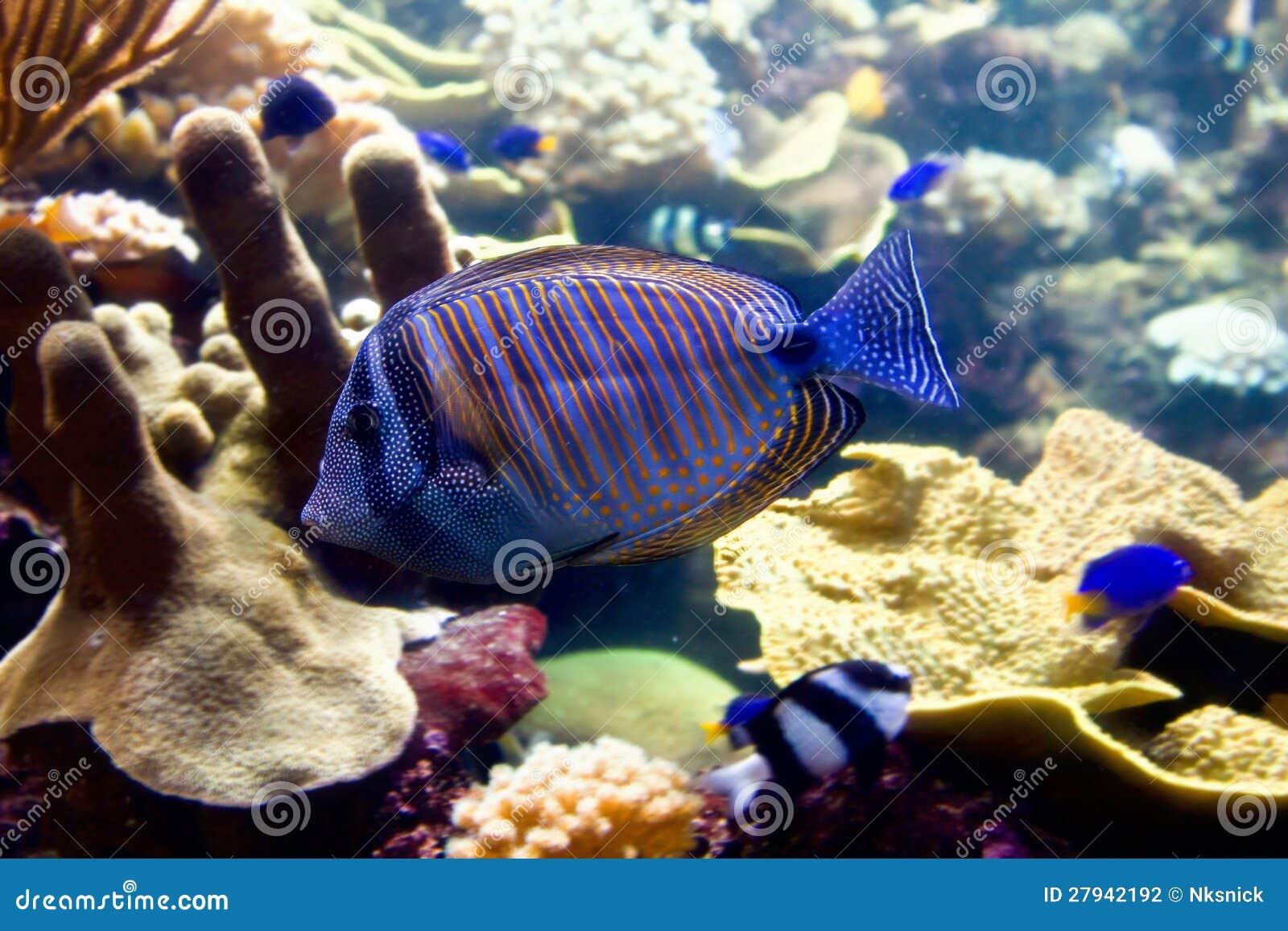 Blue Fish In The Aquarium Stock Photography Image 27942192