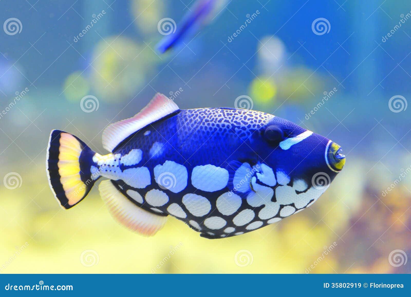 Aquarium blue fish royalty free stock image for Blue fish aquarium