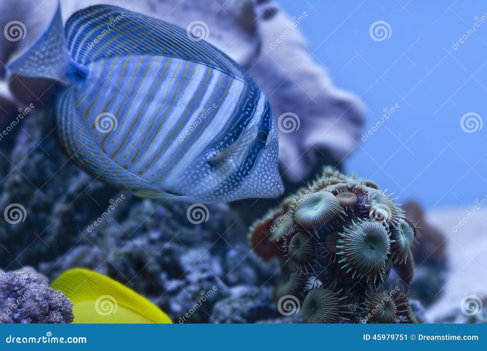 Blue Fish Stock Photo Image 45979751
