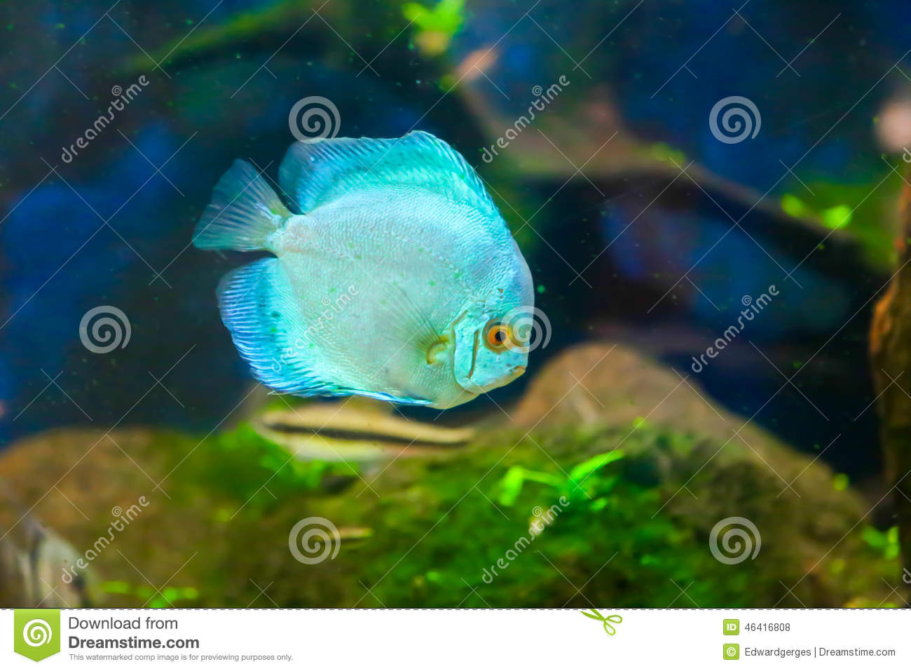 Blue fish stock photo image of coral giant colorful for Blue fish aquarium