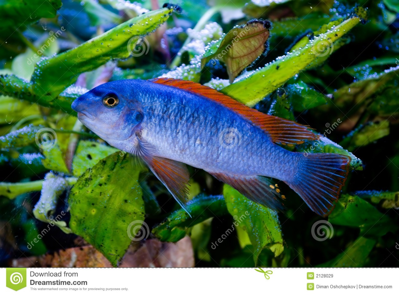 Blue fish red fins 2 stock image image of fishes aquatic for Blue freshwater fish