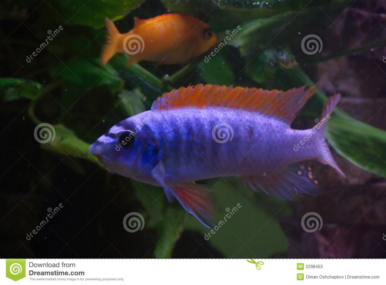 Blue fish red fins stock image image of eyes bright for Blue fin fish
