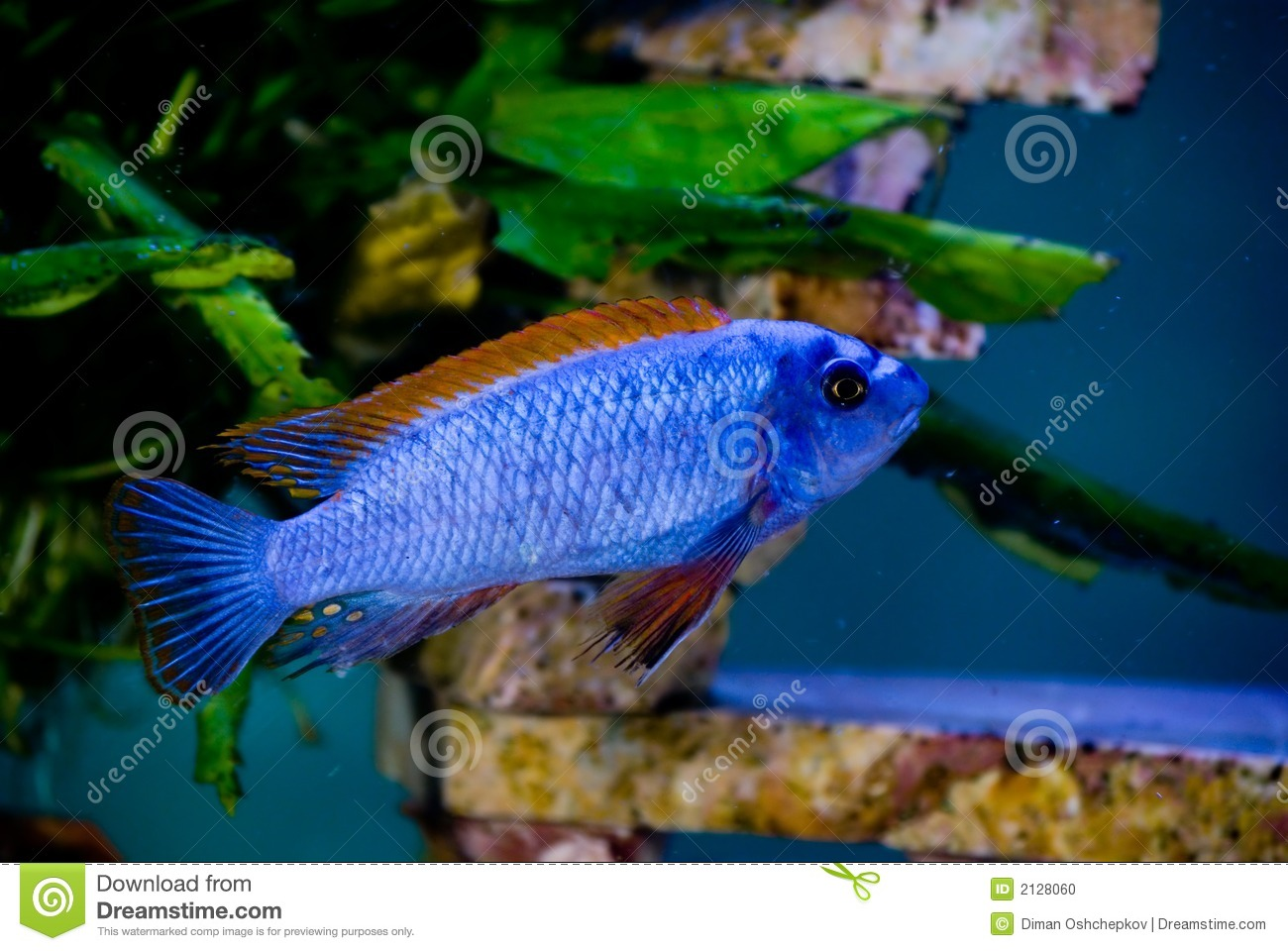 Blue fish red fins 3 stock photo image 2128060 for Red fish blue fish