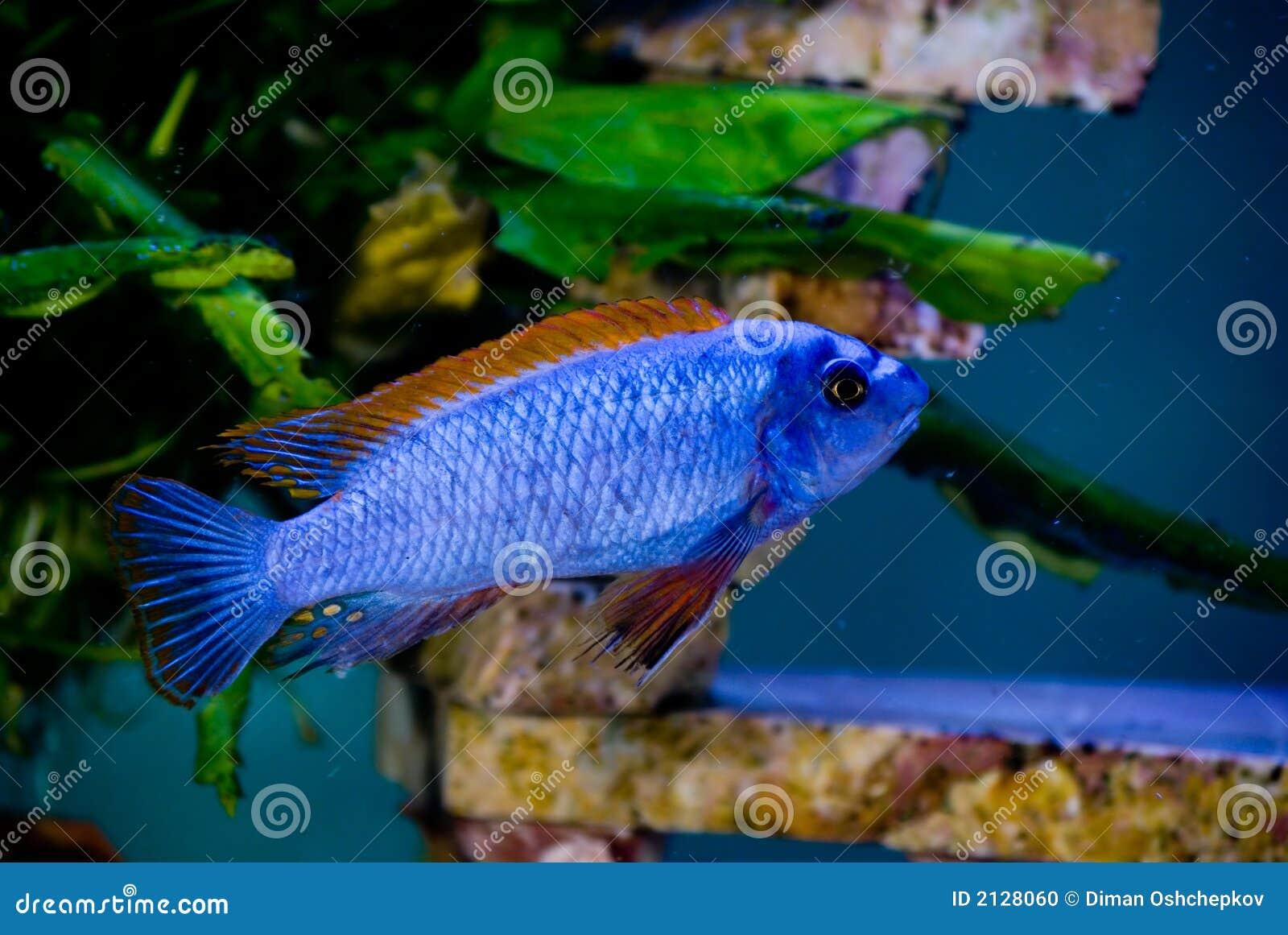 Blue fish red fins 3 stock photo image 2128060 for Blue fish aquarium