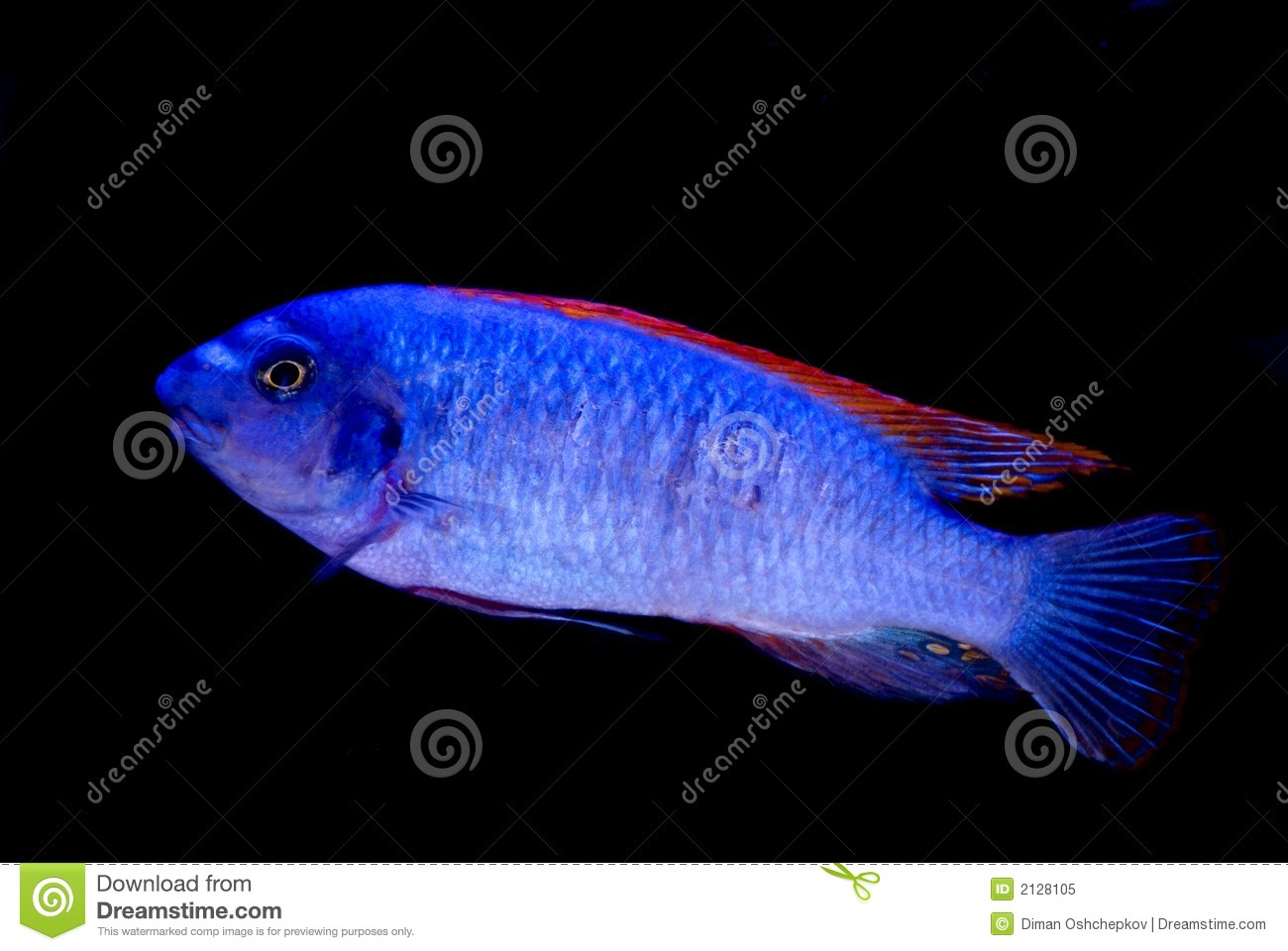 Blue fish red fins isolated stock image image 2128105 Freshwater fish with red fins