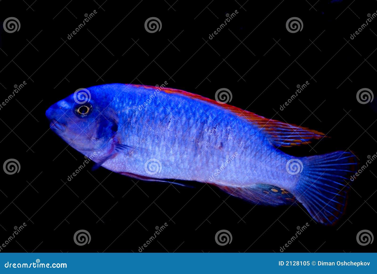 Blue fish red fish