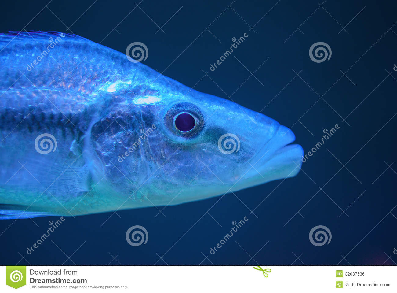 Blue fish royalty free stock image image 32087536 for Dream of fish swimming