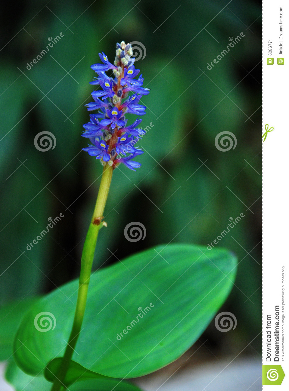 Blue flower in aquatic garden
