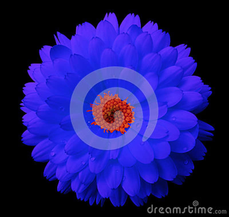 Muted Blue And Floral Red: Blue Flower Calendula. The Black Isolated Background With