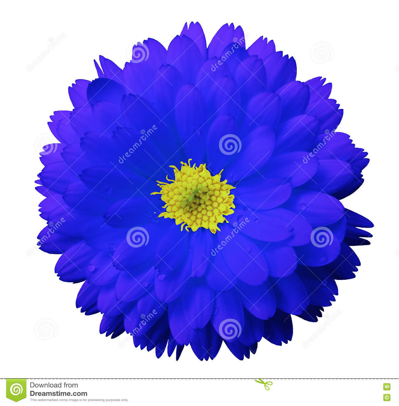 Blue Flower Calendula White Isolated Background With Clipping Path