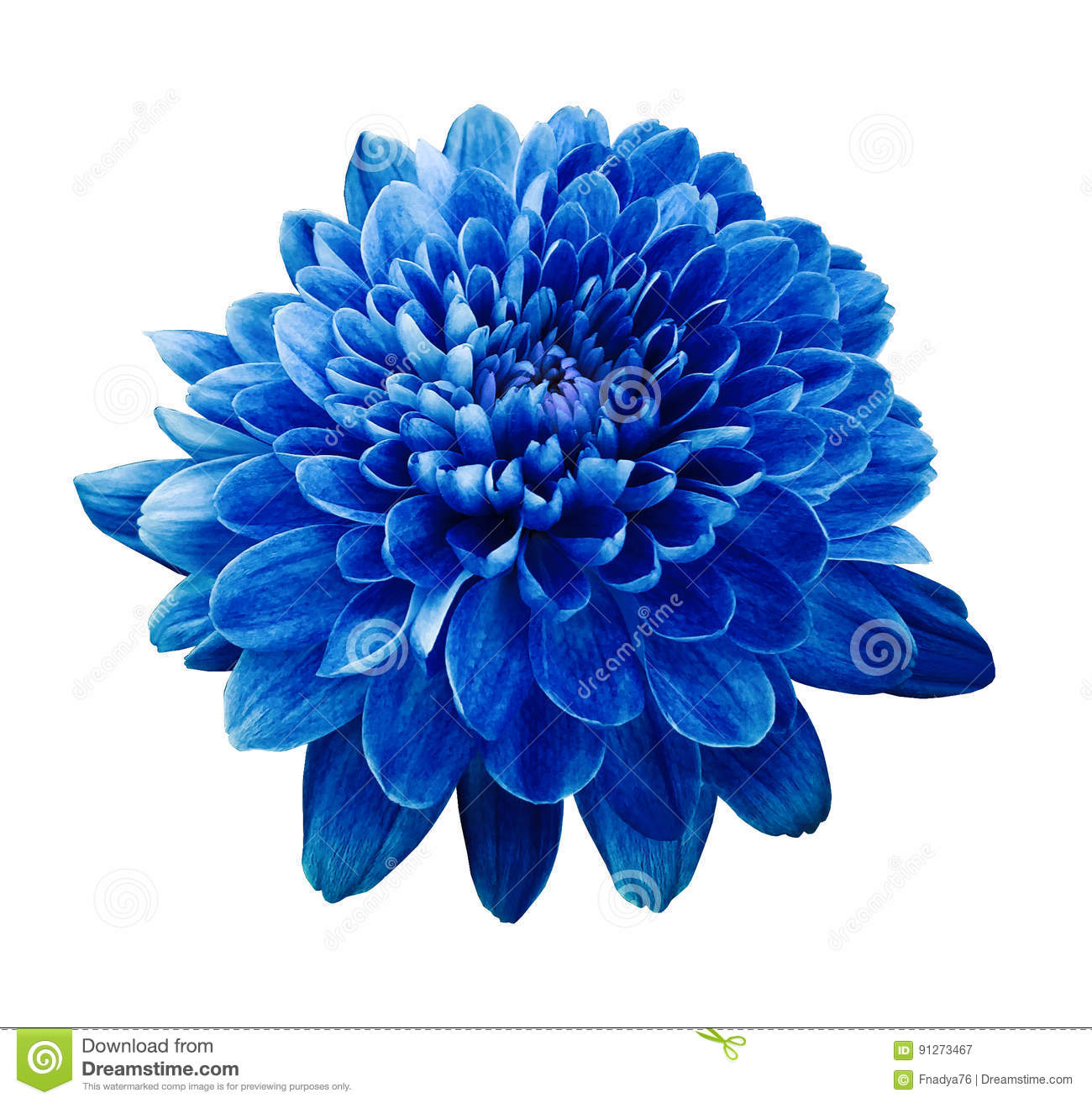 Blue flower chrysanthemum. Flower on white isolated background with clipping path. Closeup. no shadows.