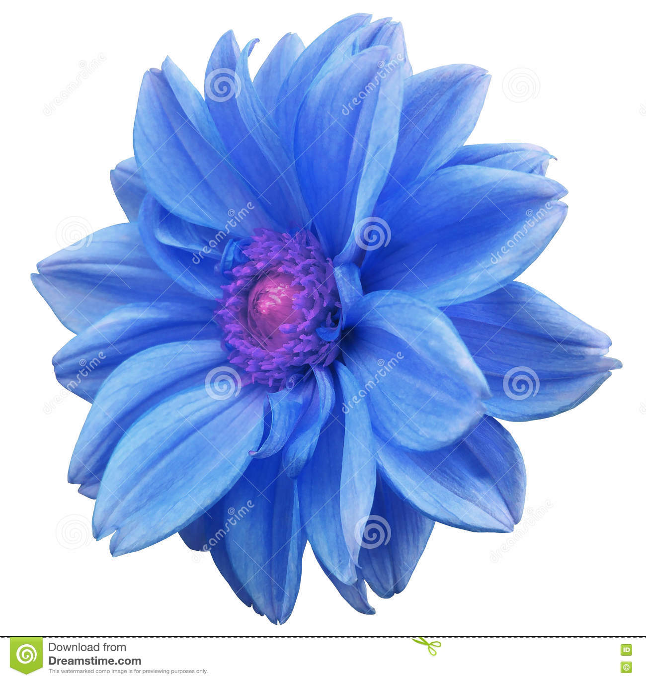 Blue Flower Dahlia White Isolated Background With Clipping Path