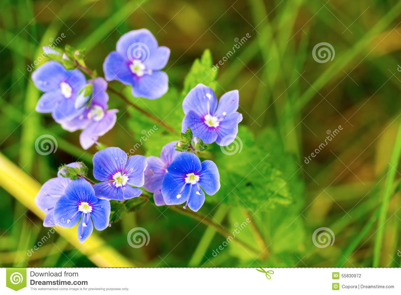 Blue Flower Stock Photo Image Of Beautiful Floral Flower 55830972