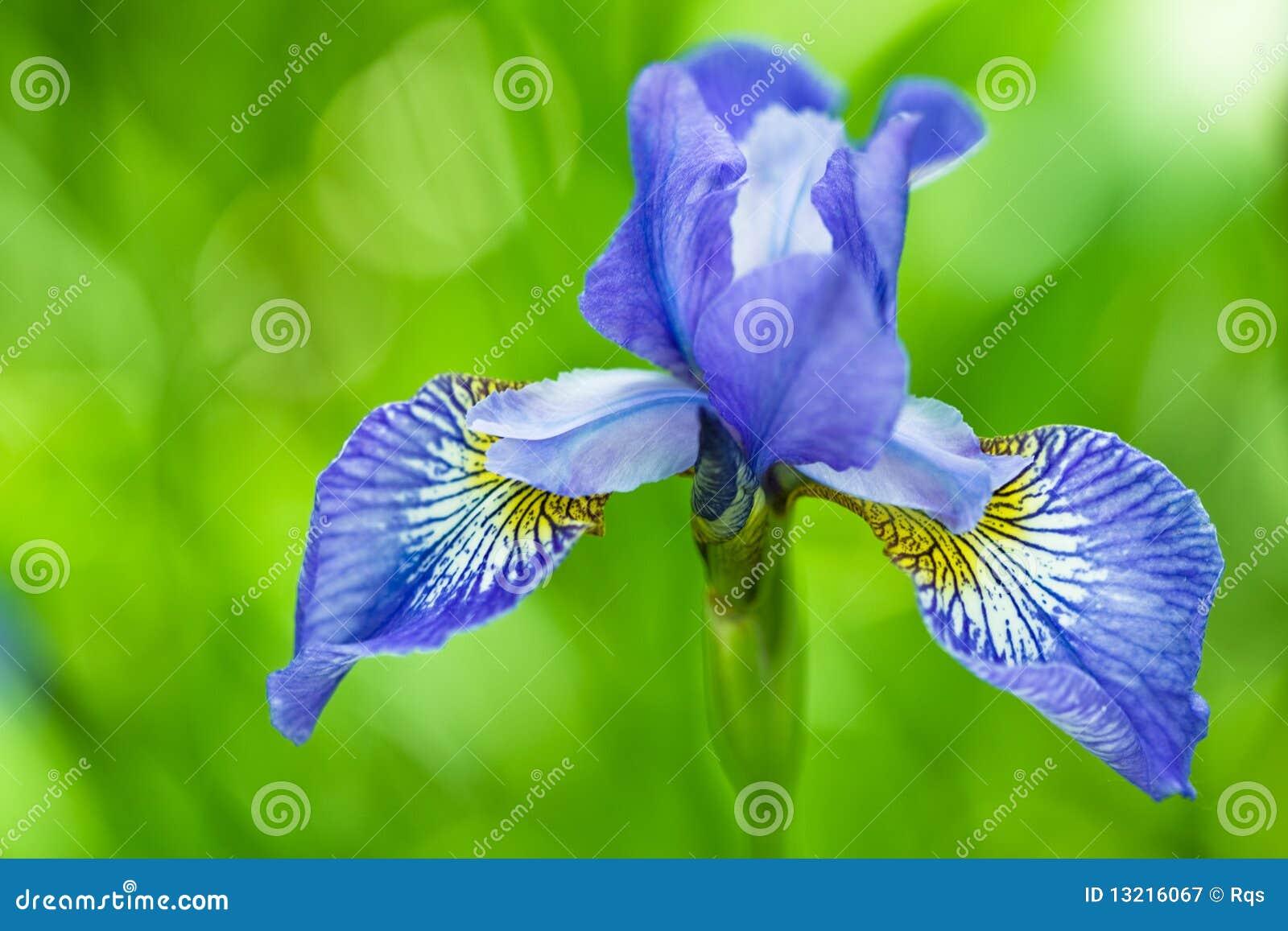 Blue flower of iris in daylight