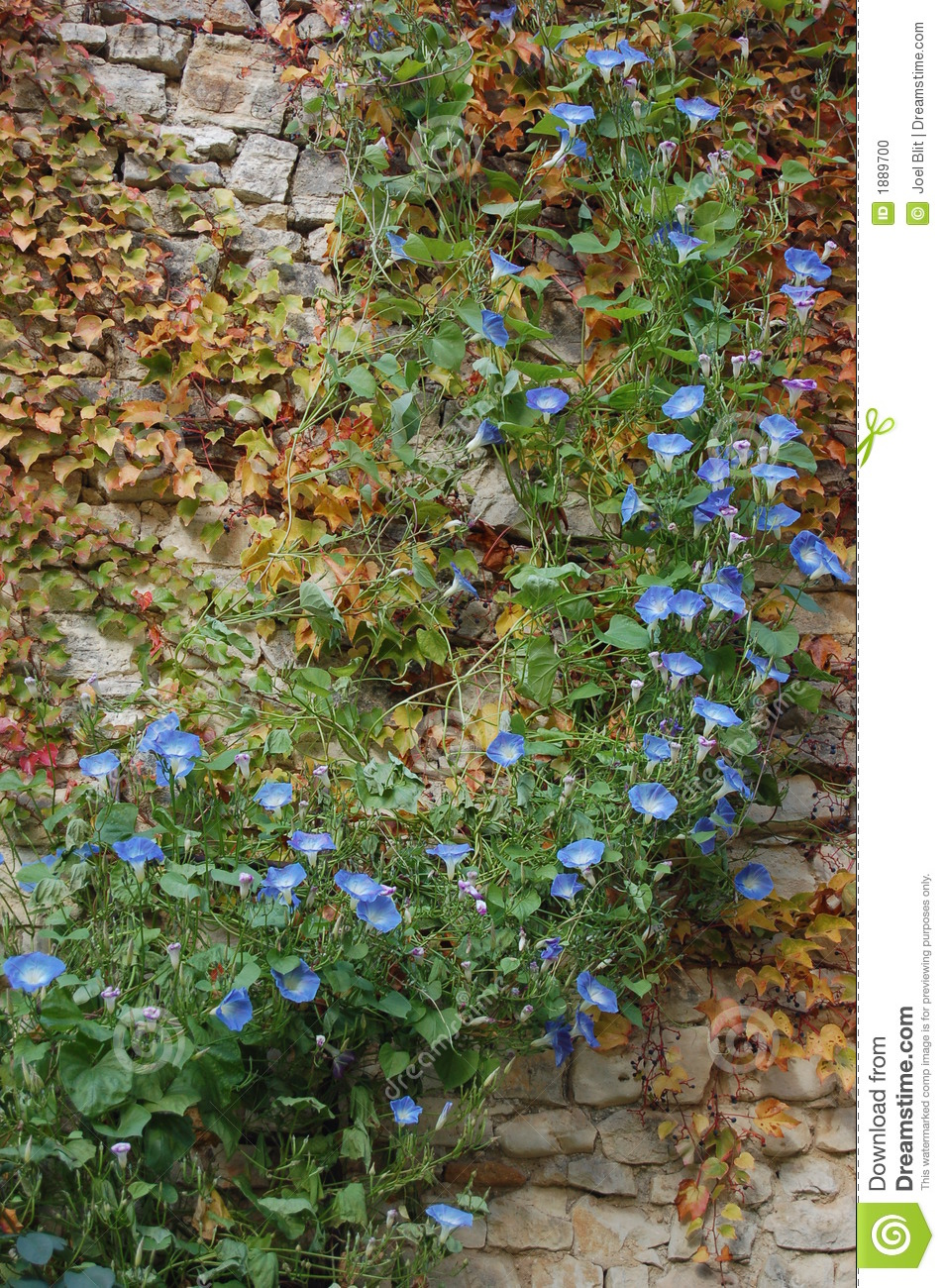 Blue flower ivy on old stone wall stock photo image of luberon blue flower ivy on old stone wall izmirmasajfo
