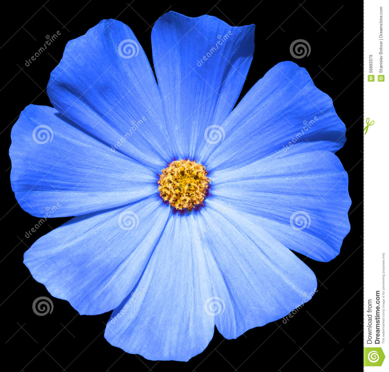 Blue flower Primula isolated