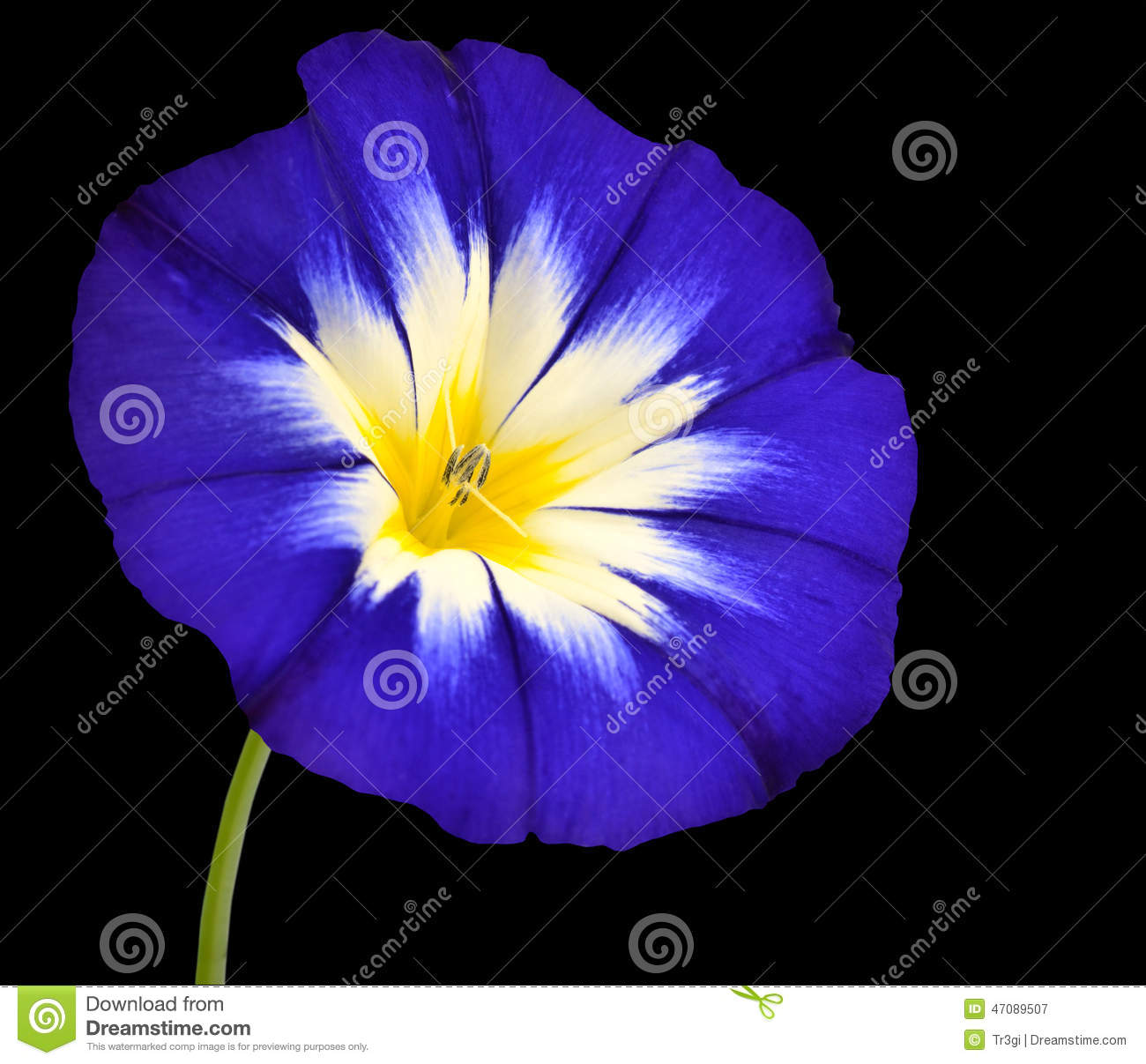Blue Flower With White Yellow Star Center Isolated Stock Image