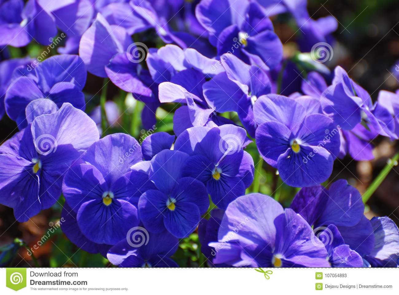 Blue flowering johnny jump ups in a garden stock image image of pretty blue flowering johnny jump up flowers in a garden mightylinksfo