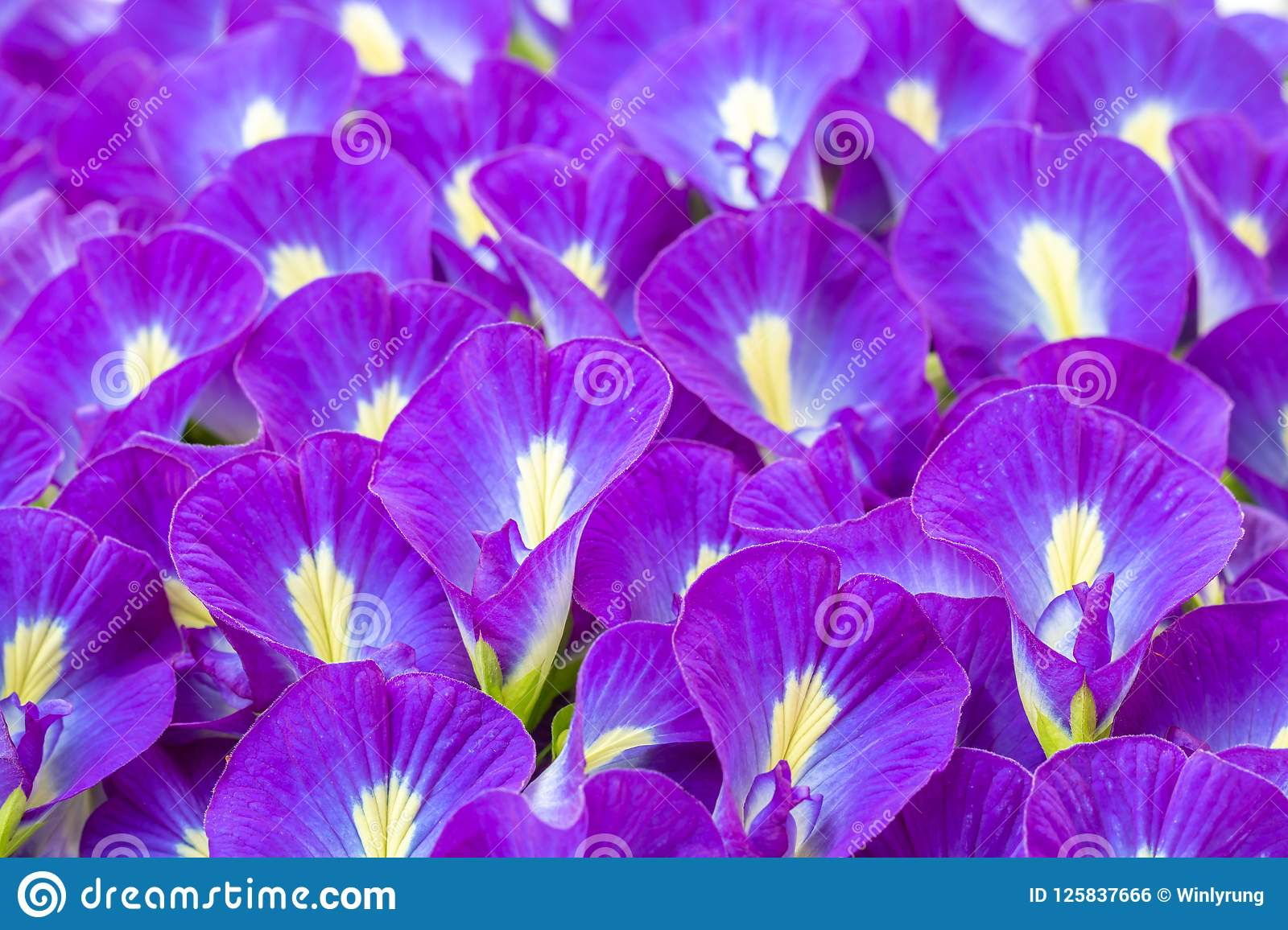 Blue Flowers Background Butterfly Pea Stock Photo Image Of Tree