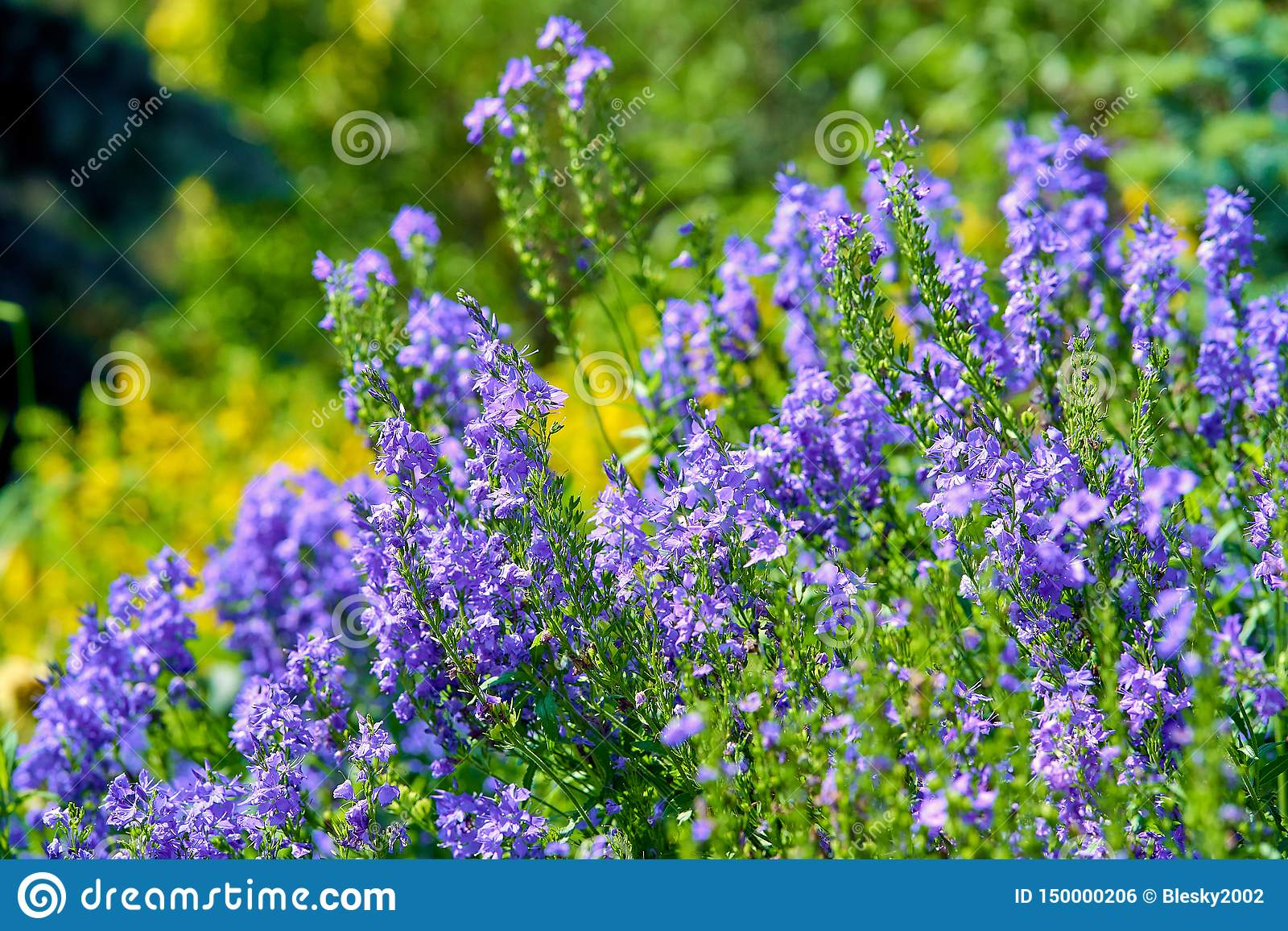 Blue flowers in blossom on a sunny day, blurred background no people