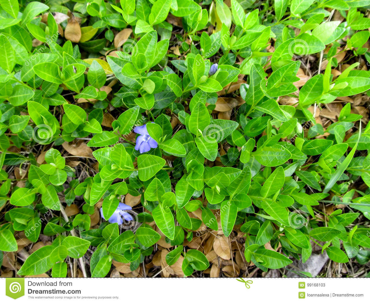 Floral green juicy background of a creeping plant of the vinca minor download floral green juicy background of a creeping plant of the vinca minor with two blue izmirmasajfo