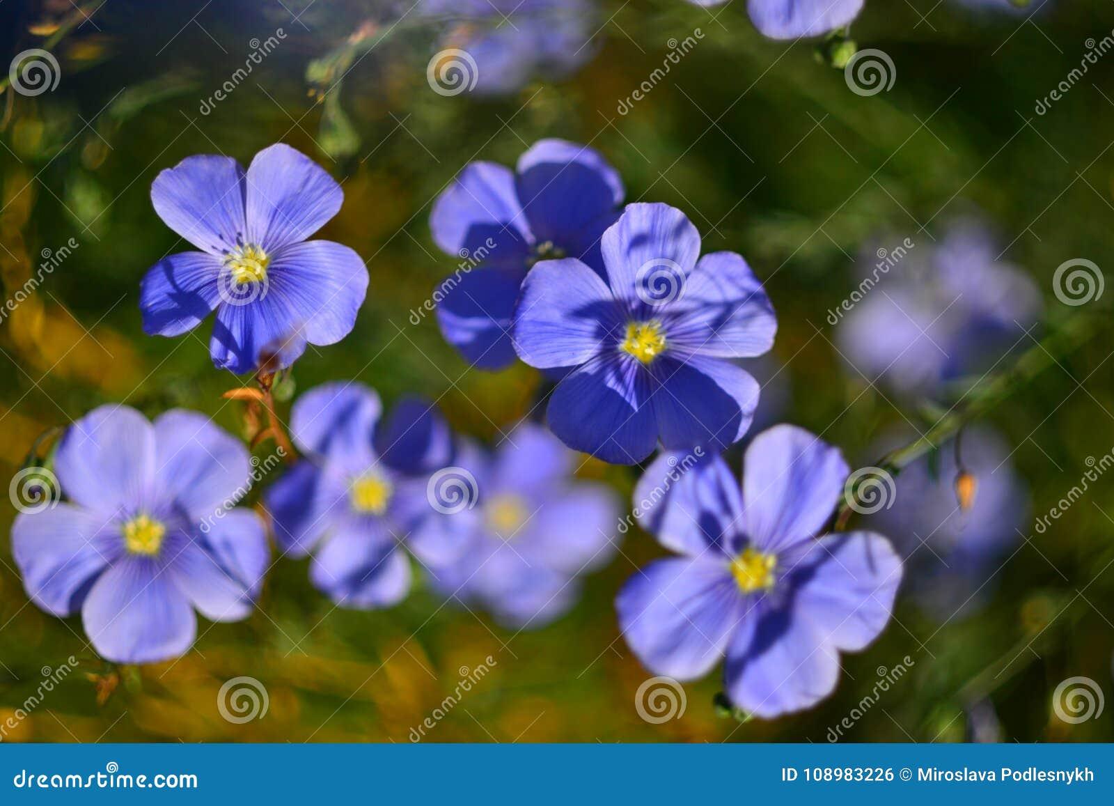 Blue Flowers On A Green Background Field Flowers Of A Cornflower