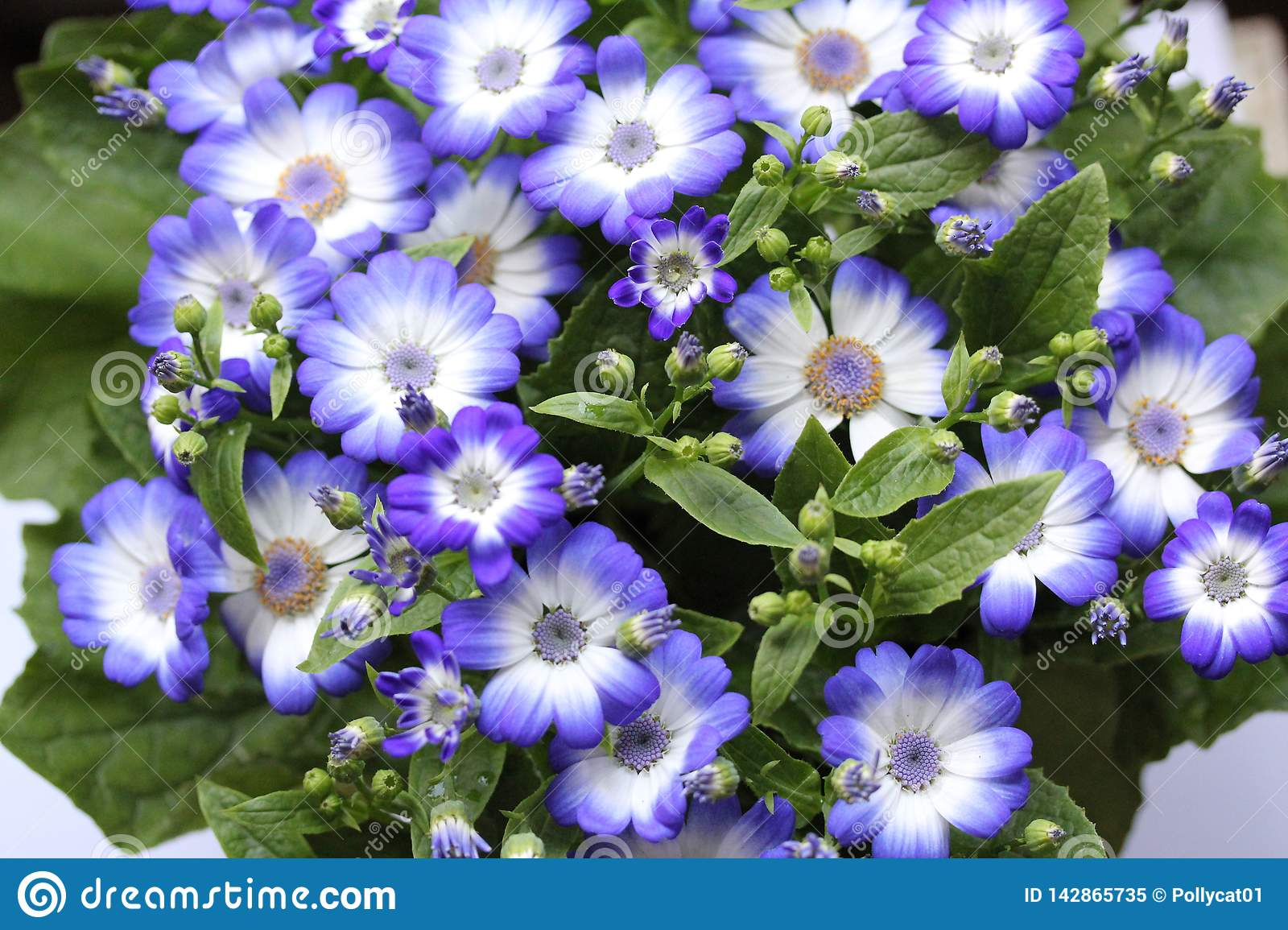 Blue flowers in the home garden 6