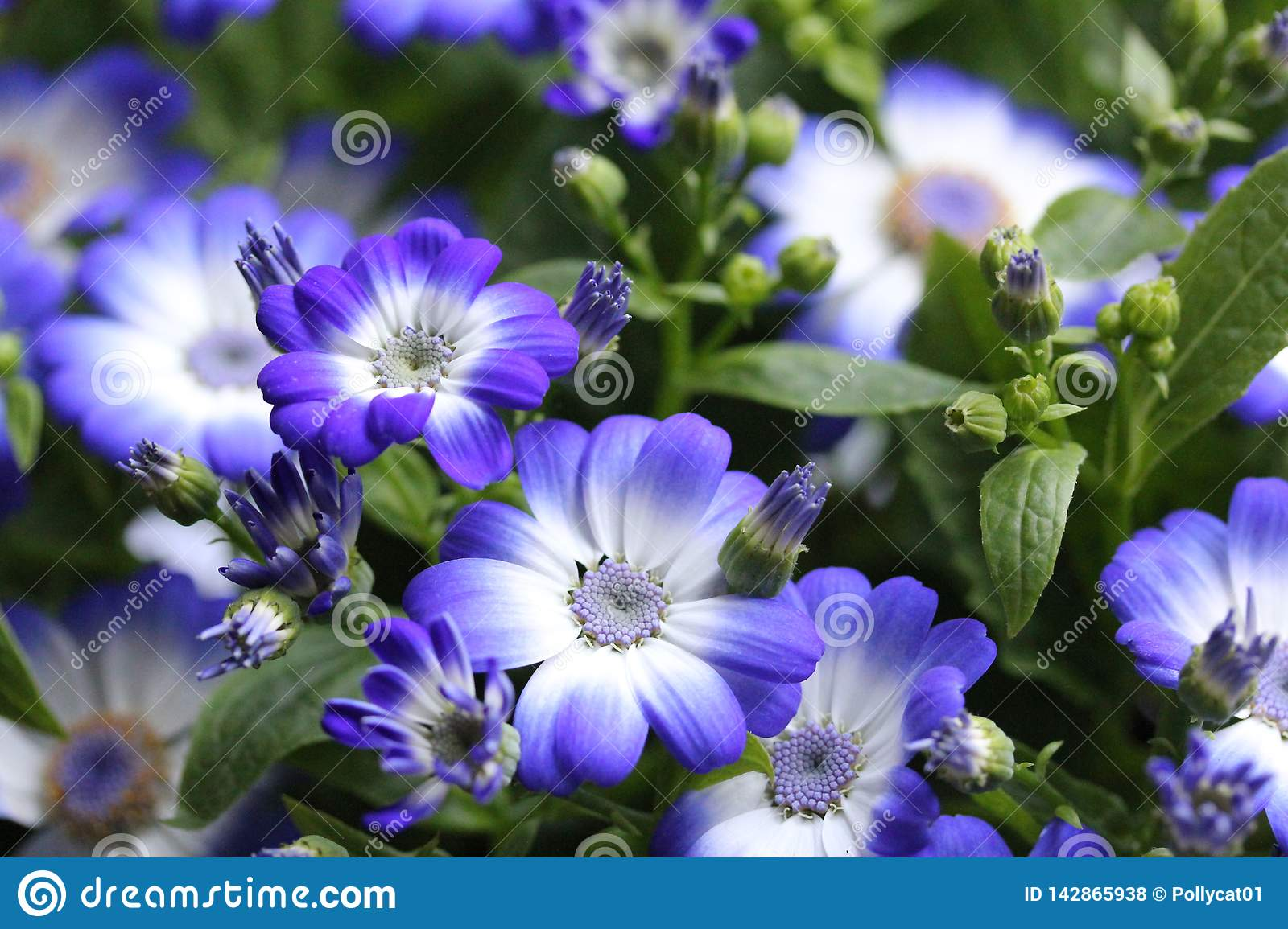 Blue flowers in the home garden 2