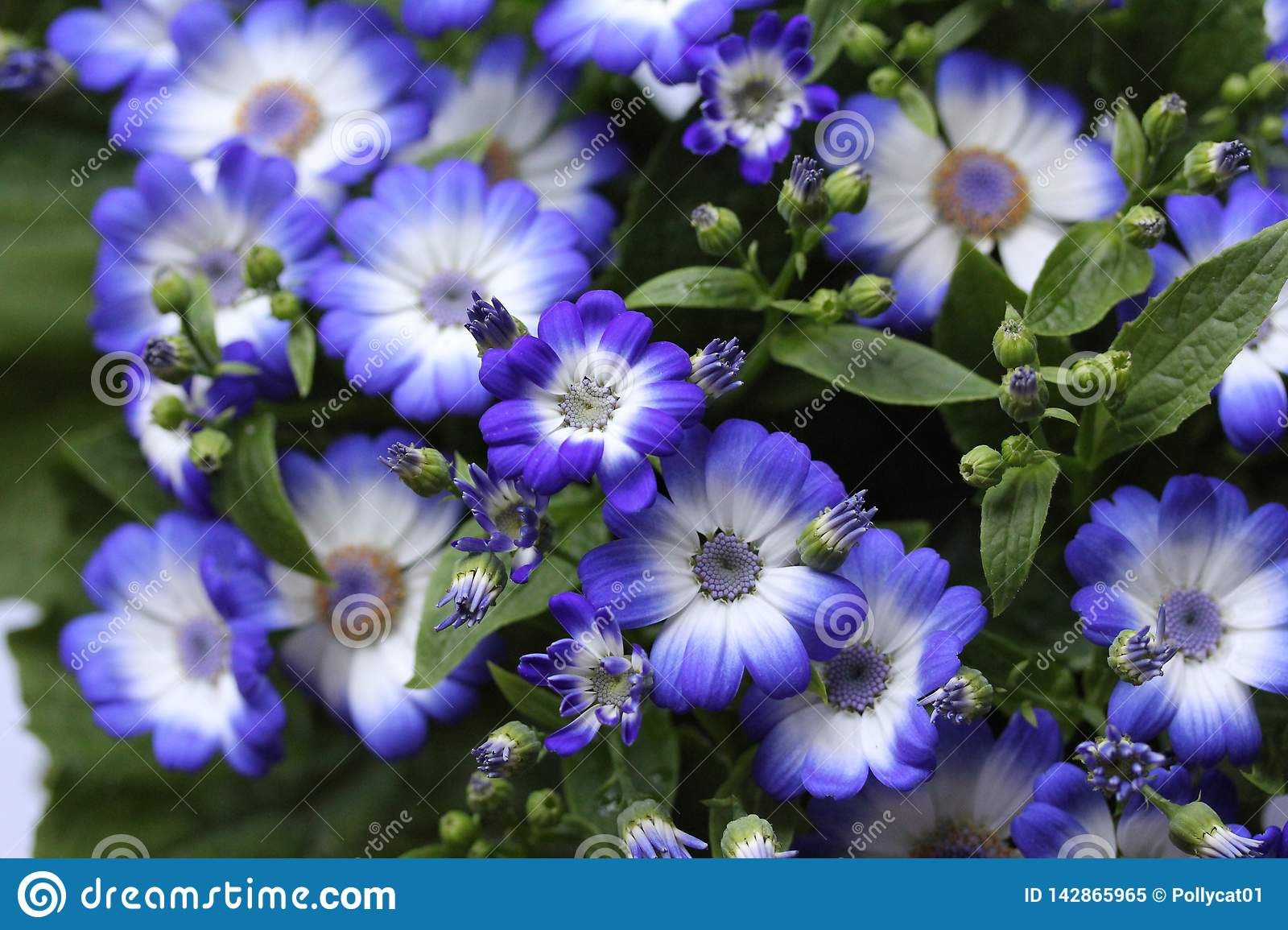 Blue flowers in the home garden 4