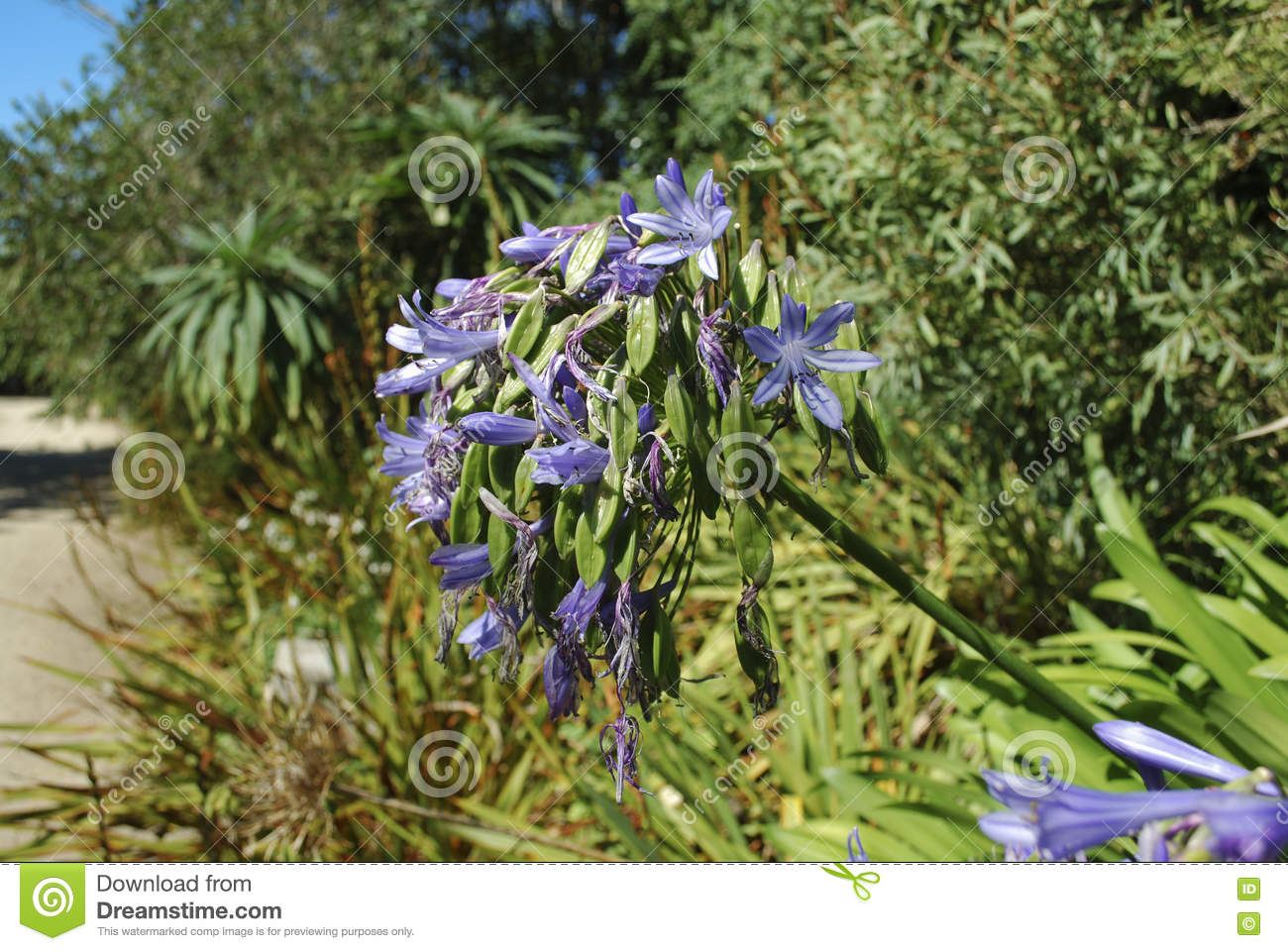 Blue flowers and seeds of lily of the nile stock photo image of lily of the nile agapanthus praecox subsp praecox azure bloom blue flowers and seeds izmirmasajfo