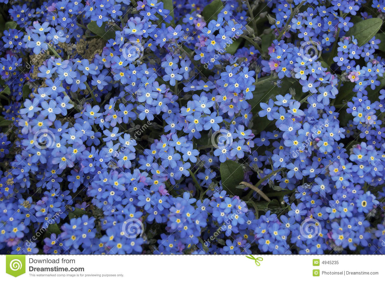 blue forget me not flowers stock image image of love 4945235. Black Bedroom Furniture Sets. Home Design Ideas