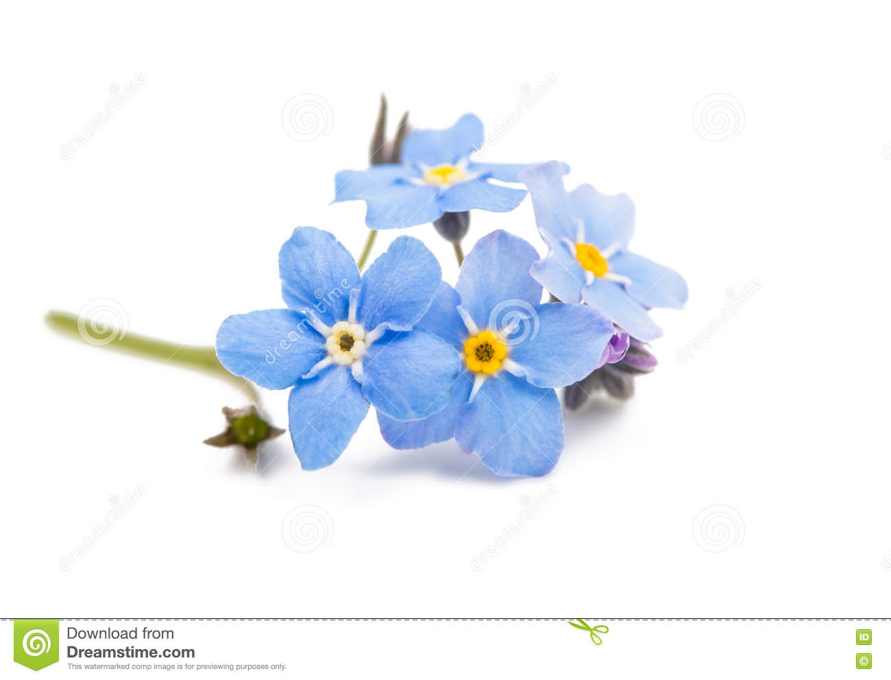 Blue Forget Me Not Flowers Isolated Stock Image Image Of Floral