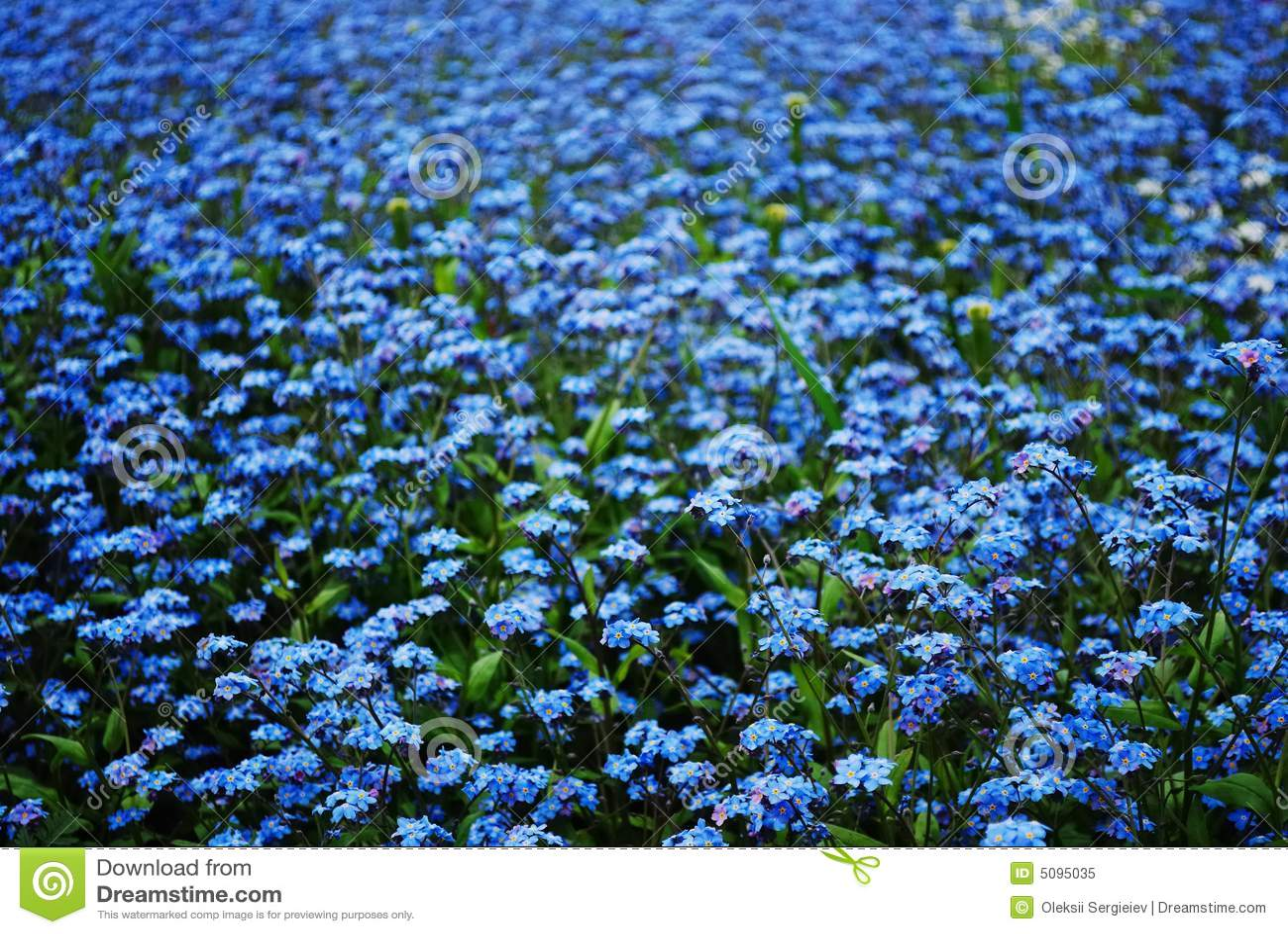 blue forget me nots royalty free stock photo image 5095035. Black Bedroom Furniture Sets. Home Design Ideas