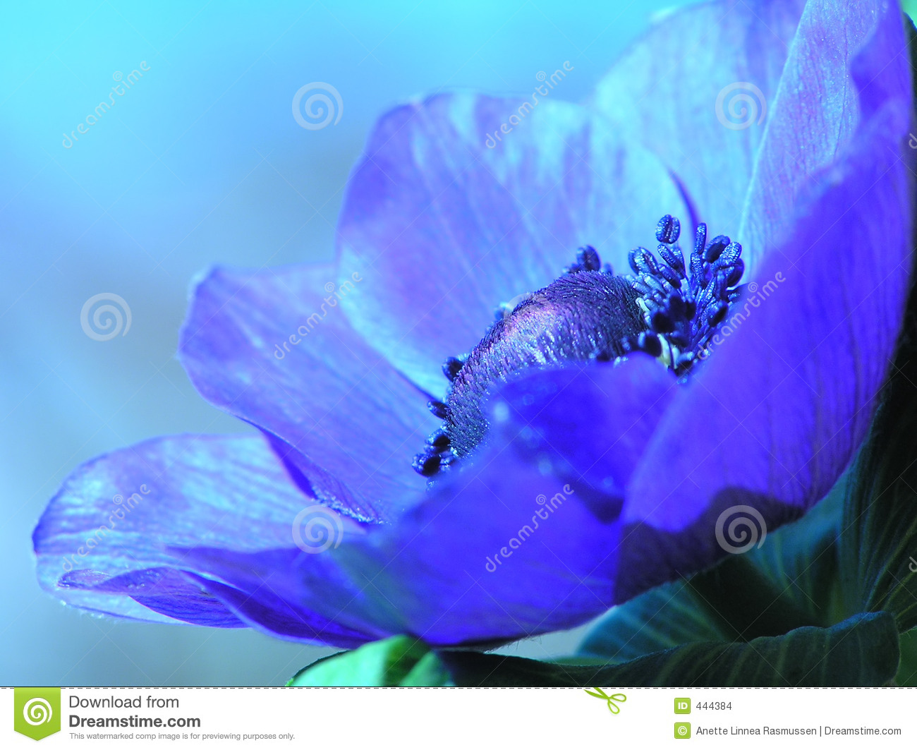 Blue French anemone