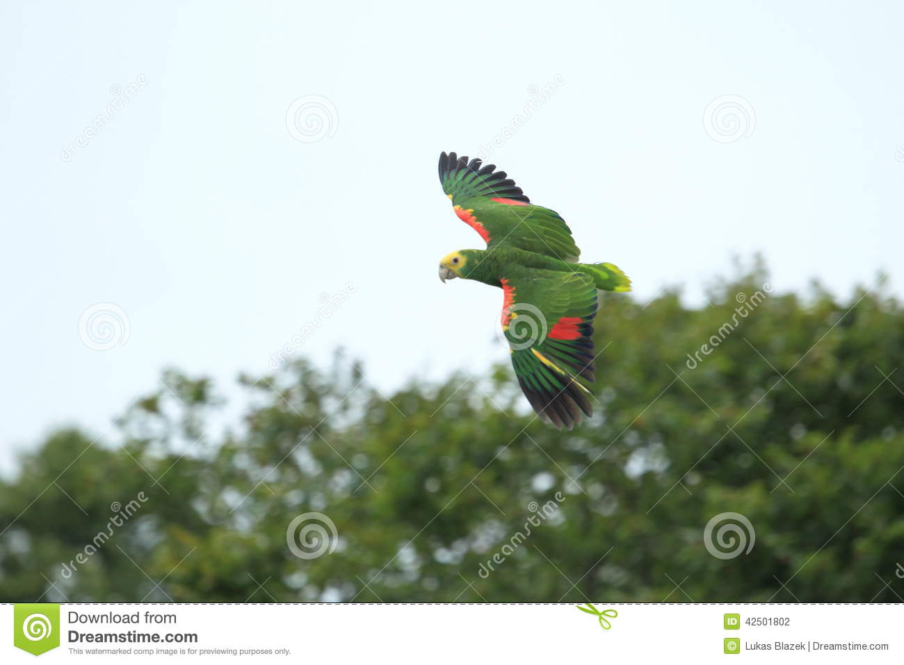 Blue Fronted Amazon Stock Photo Image Of Fronted Bird 42501802