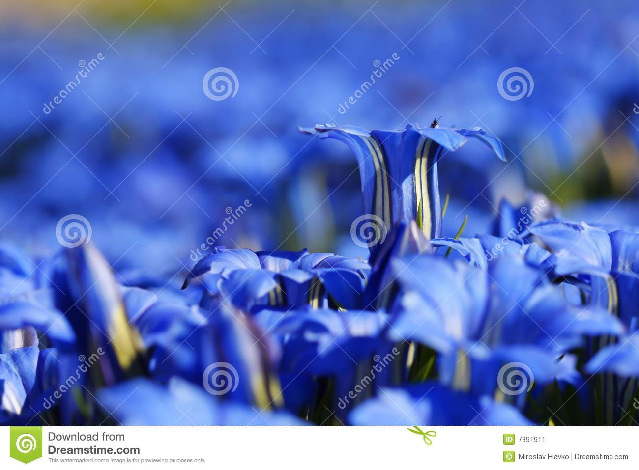 bavarian gentians Anxiety at the window baby tortoise ballad of another ophelia bat  bavarian gentians beautiful old age belief birdcage walk blue brooding  grief.