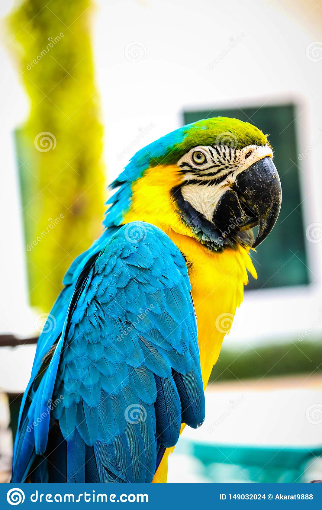 Blue and-gold macaw