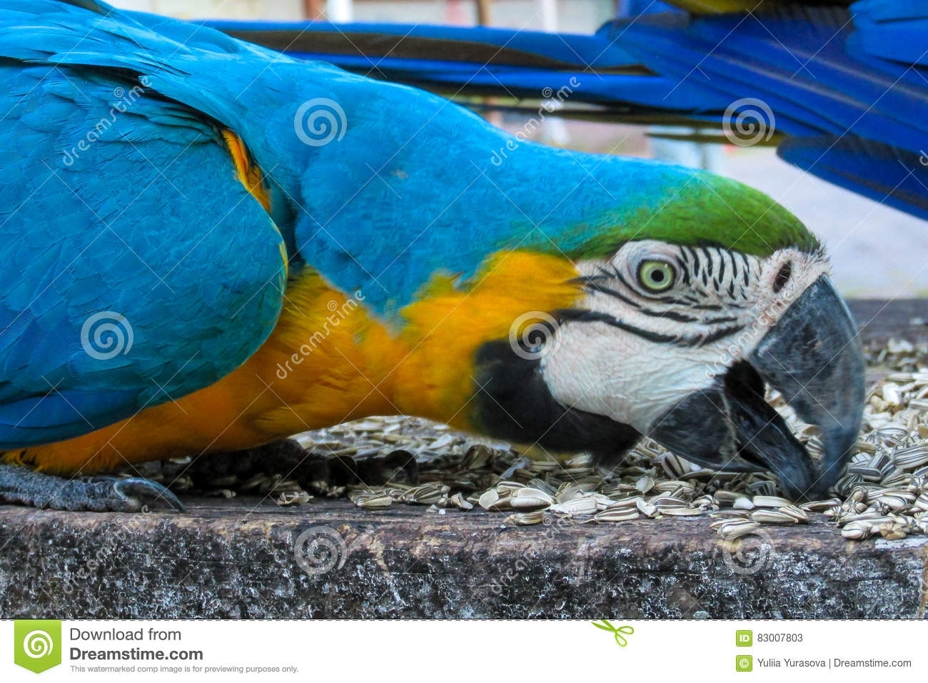 Blue-gold macaw parrot