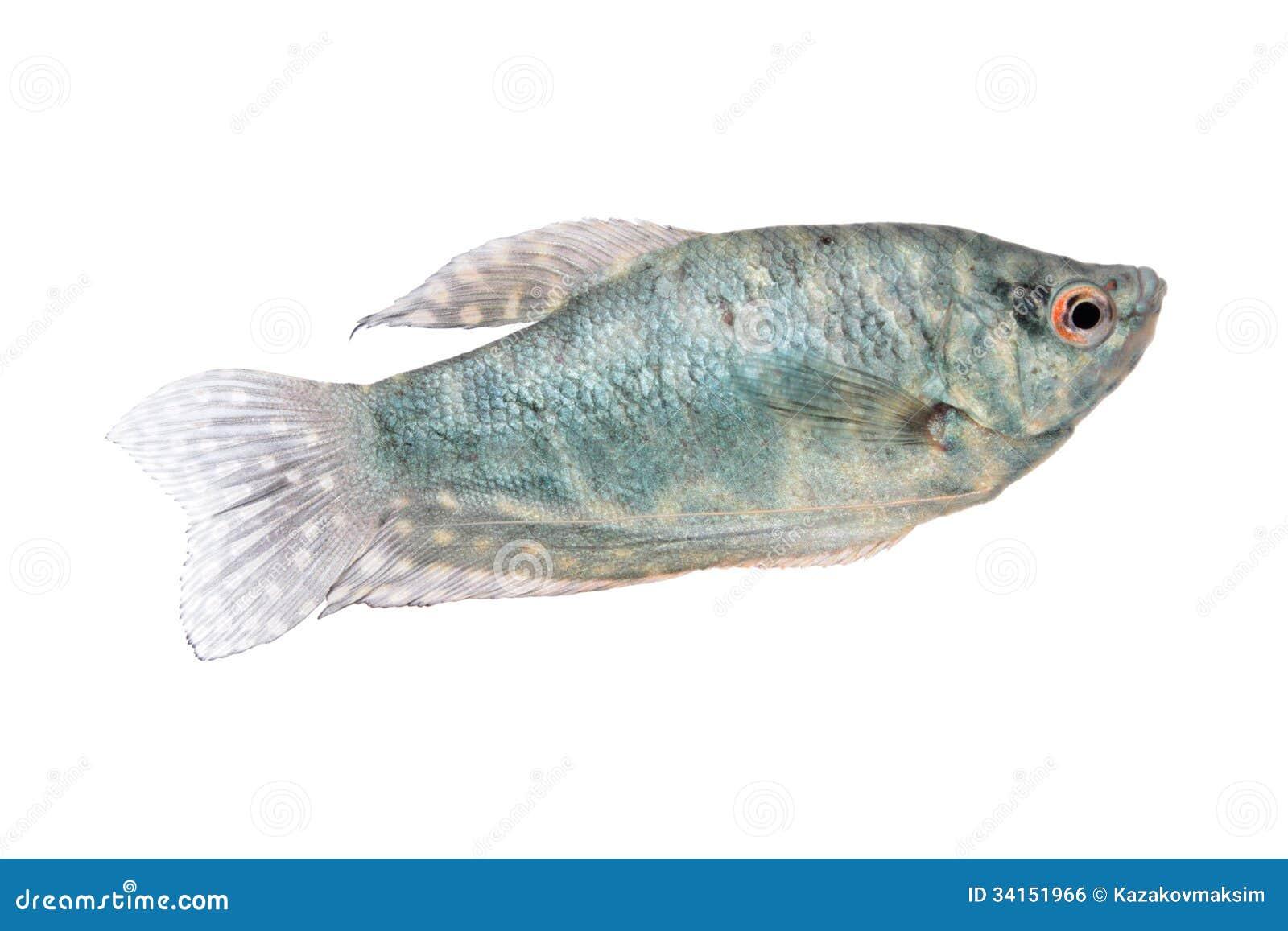 Blue gourami aquarium fish isolated on white stock photo for Blue freshwater fish