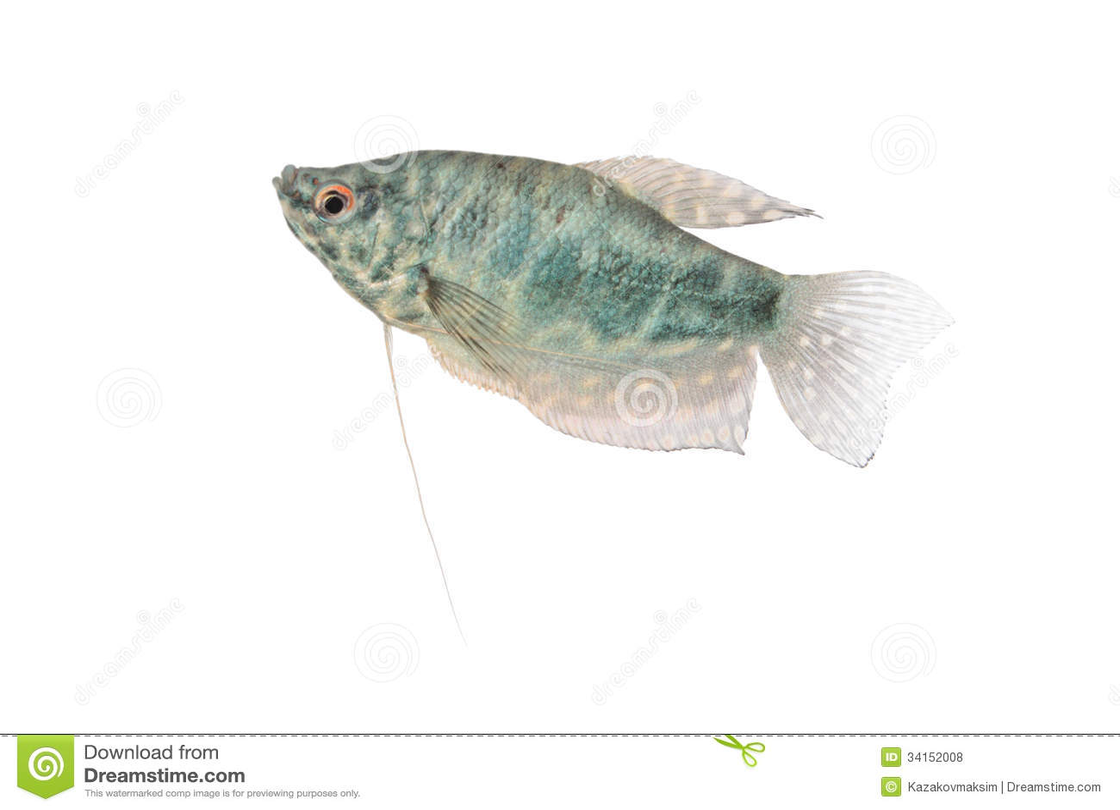 Blue Gourami Aquarium Fish Isolated On White Stock Photo