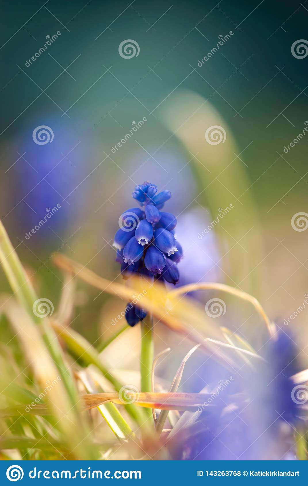 Blue Grape Hyacinth with Yellow Grass