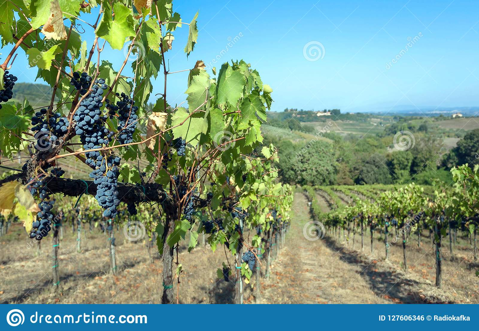 Blue grapevine in wineyard. Colorful vineyard landscape in Italy. Vineyard rows at Tuscany in autumn harvest time